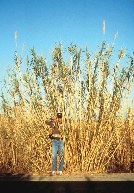 Giant reed arundo outcompetes native species with its rapid growth and high water uptake