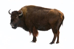 Yellowstone bison get more room to roam