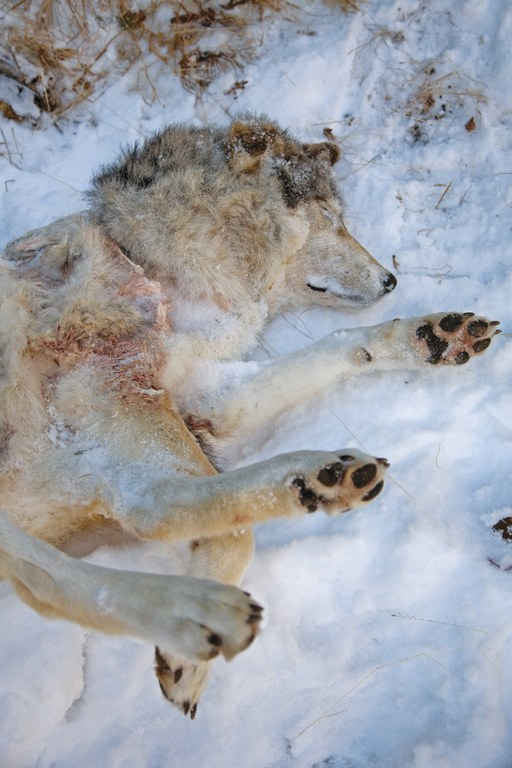 An alpha female gray wolf shot by government aerial hunters in the Sawtooth Mountains, Idaho, in December 2009.