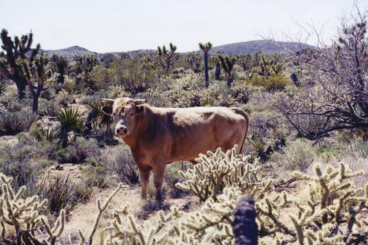 A new law authorizes voluntary grazing permit retirements with the 25 million-acre California Desert Conservation Area.