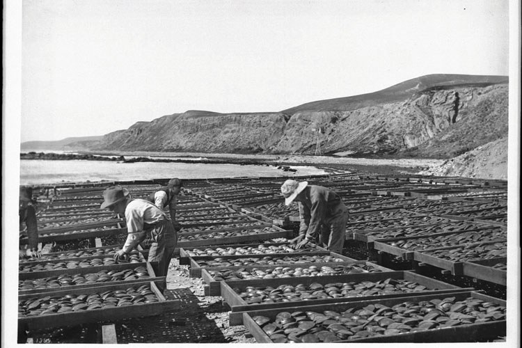 Men dry abalone in large wooden trays on the beach north of Point Fermin, San Pedro, California, circa 1900.