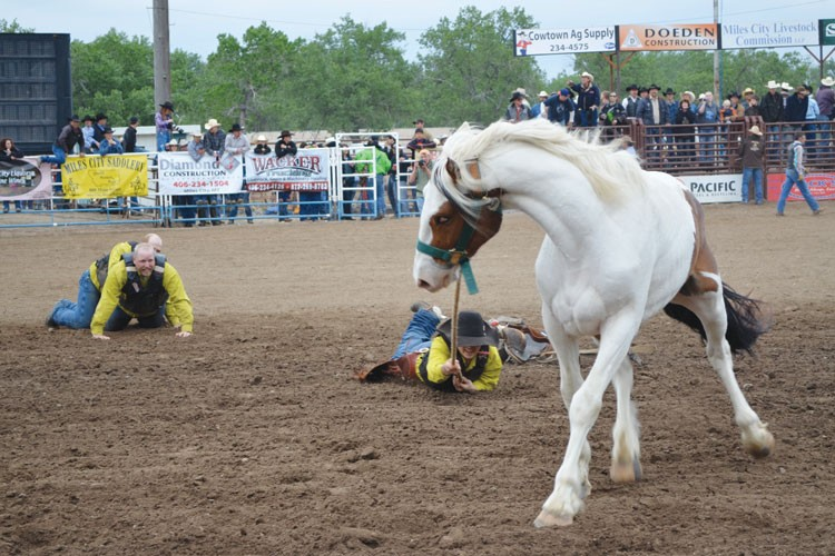A wild horse tries to shake off one more cowboy at the Bucking Horse Sale in Miles City.