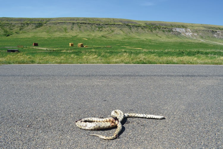 A bull snake killed on a road outside the town of Belt.
