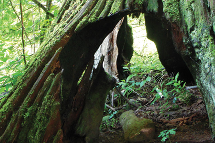 in praise of ancient tree stumps  stump proud   u2014 high country news