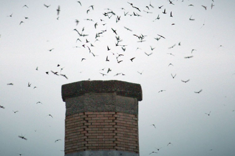 Vaux's swifts at Chapman School in Portland.