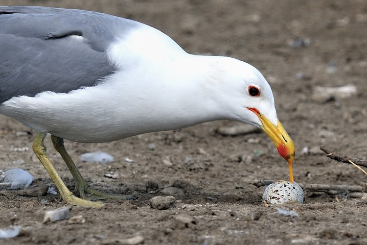 A California gull, which eats gull eggs (shown here) as well as those of other