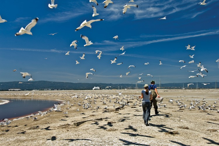 USGS biologists in the California gull colony at Pond A6, part of the South Bay Salt Pond Restoration Project where the gulls are encouraged to nest.
