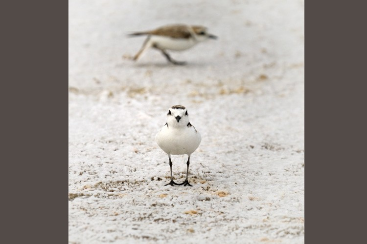 Snowy plovers are tiny shorebirds, whose offspring can fall prey to larger birds like California gulls.
