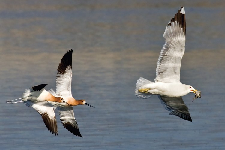A pair of avocets chase a California gull that had snatched their baby from a nest at Don Edwards S. F. Bay National Wildlife Refuge.