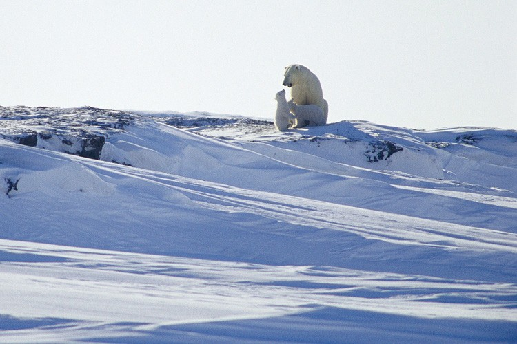 A mother polar bear plays with two cubs near their den, in the Arctic National Wildlife Refuge, March 2002.