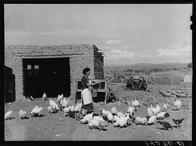 Ofelia Trujillo Sandoval, feeding chickens on her farm near Taos, c. 1939.