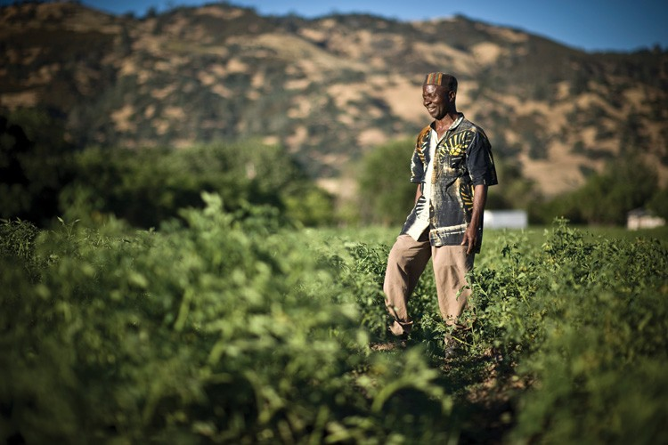 Roosevelt Tarlesson among the tomatoes on his family farm in Guinda, California, where he and his relatives use both modern organic agricultural practices and traditional Liberian techniques.