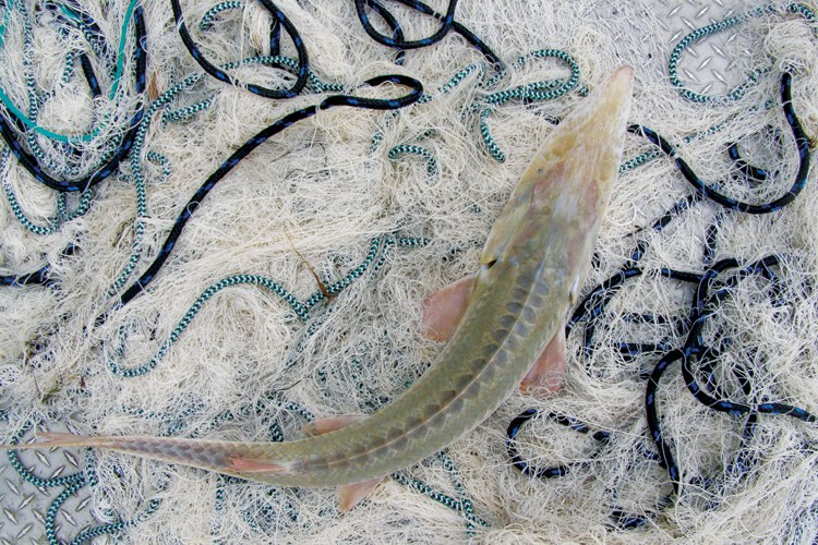 A pallid sturgeon netted in the Lower Missouri River.
