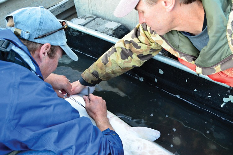 Gonadal biopsies help researchers Dave Fuller (blue jacket) and Pat Braaten (camo) determine if a reproductive female has spawned.