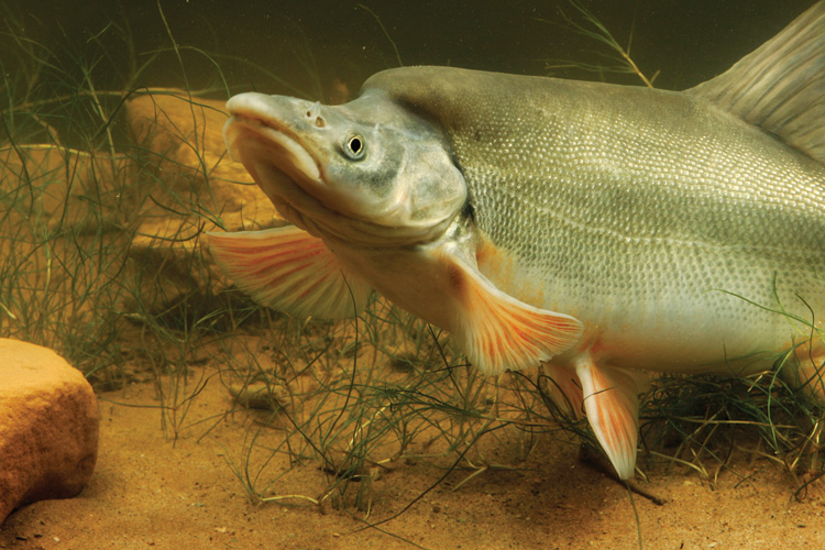Grand canyon floods and native fish grand canyon floods for Colorado fish species