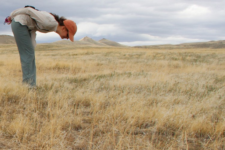 Beth Leger looks for native plants amid a field of invasive cheatgrass near Winnemucca, Nevada.