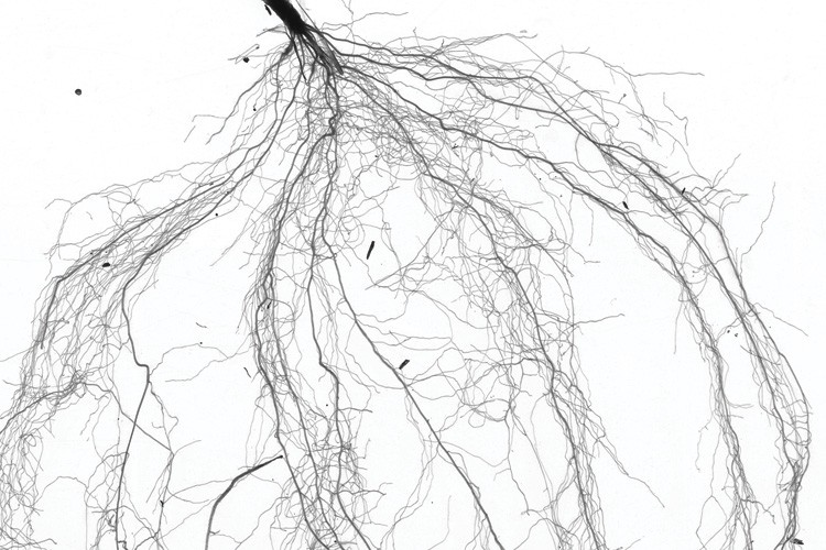 A scanned image of the roots of the invasive annual grass Bromus tectorum. Extensive fine-root production is probably key to this plant's success in capturing water and nutrients in arid ground.