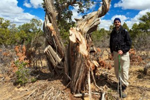 The great New Mexican juniper massacre