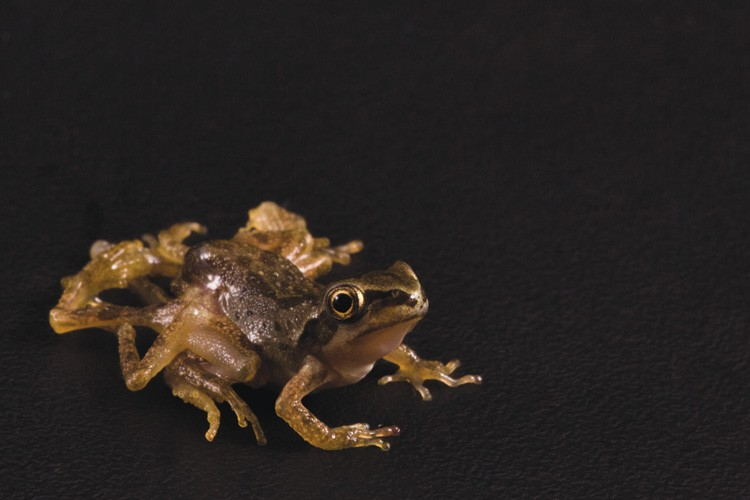 "An ""octo"" Pacific tree frog with deformities caused by a parasitic flatworm."