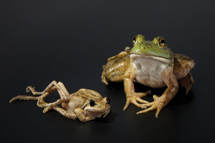 A Pacific tree frog and a bullfrog with deformities caused by a parasitic flatworm.