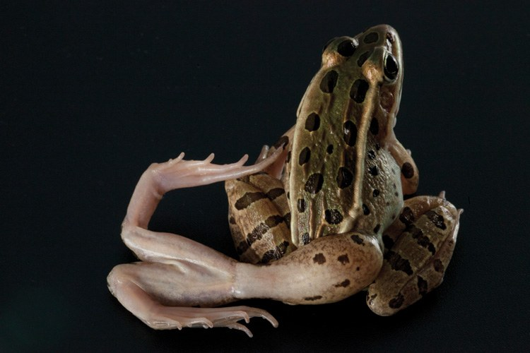 A northern leopard frog with deformities caused by a parasitic flatworm.