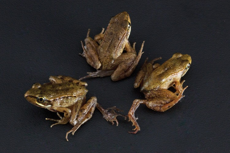 Three northern red-legged frogs, all with deformities caused by a parasitic flatworm.