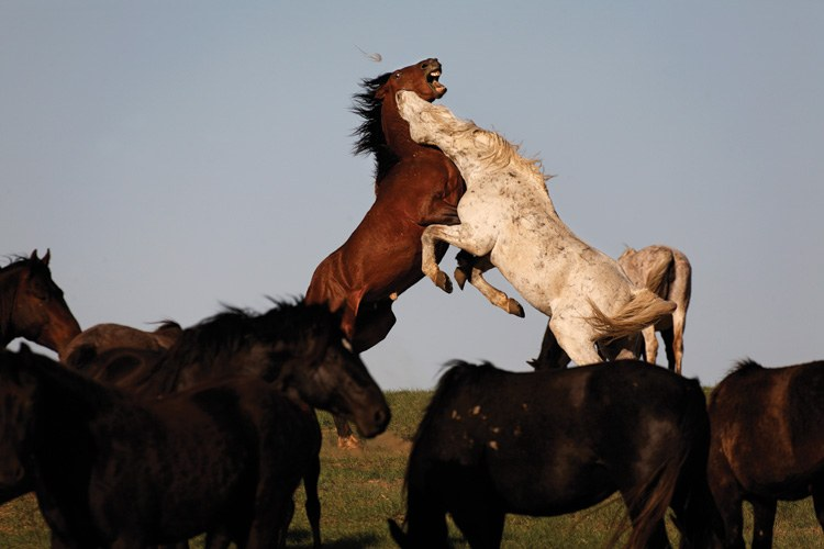 Wild mustangs from the White Sands herd in New Mexico, now living on the South Dakota range.