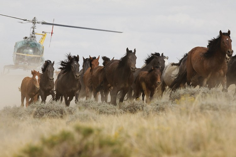 A Bureau of Land Management helicopter swoops in to herd horses in Great Divide Basin, Nevada.