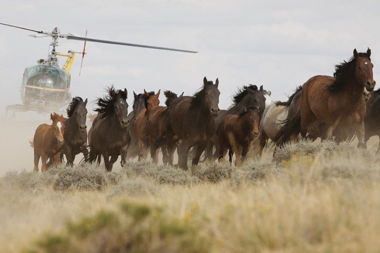 A Bureau of Land Management helicopter swoops in to herd horses in Great D