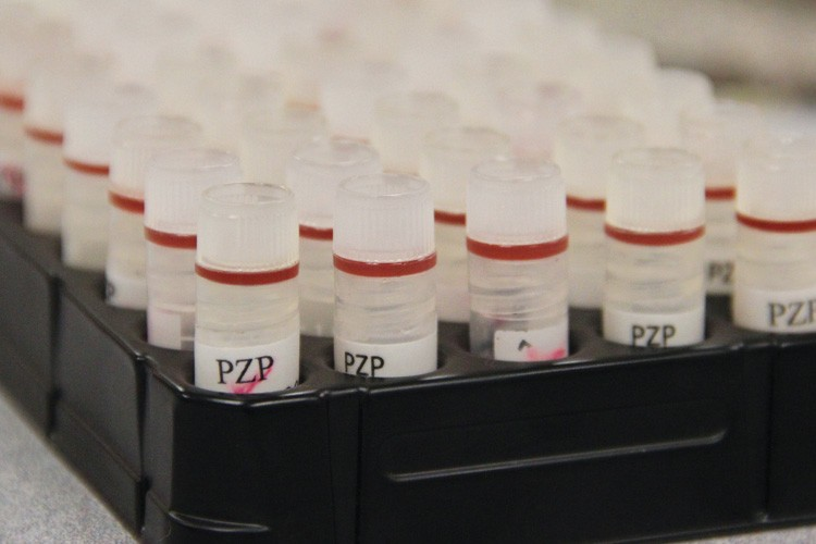 Vials of Porcine Zona Pellucida, or PZP, a birth control drug for wild horses.