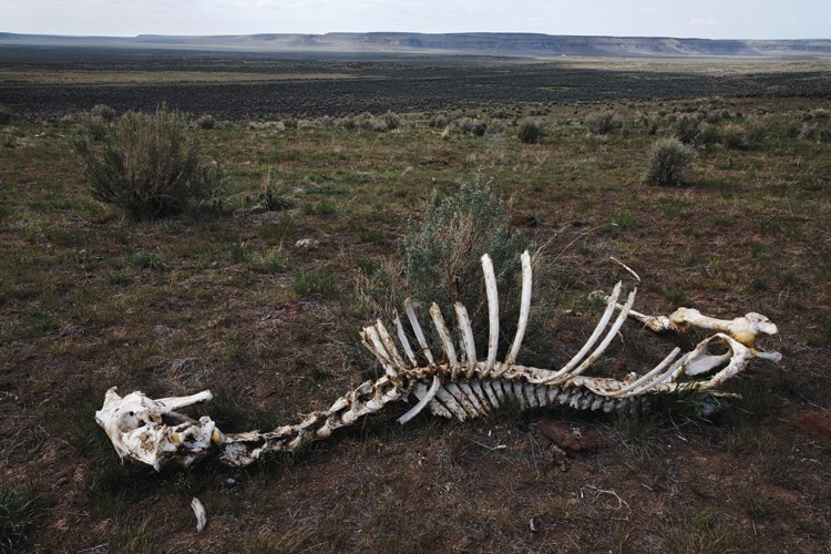 Horse carcass on the hillside of South Steens Wild Horse Management Area in southeastern Oregon.
