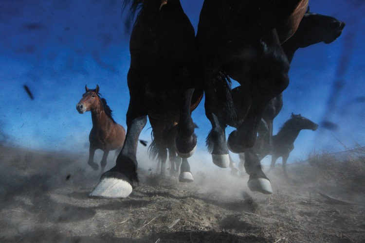 A BLM wild horse roundup in the Nevada desert.