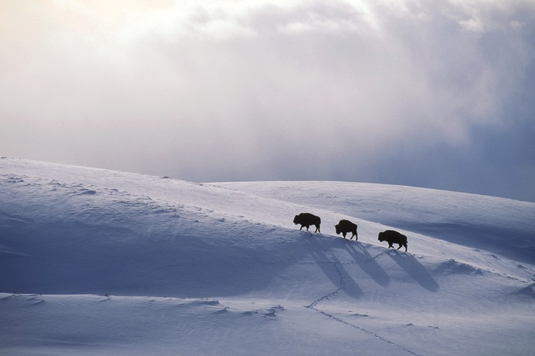 Bison, left, trudge to the top of a ridge in Yellowstone National Park in search of forage exposed by the wind.