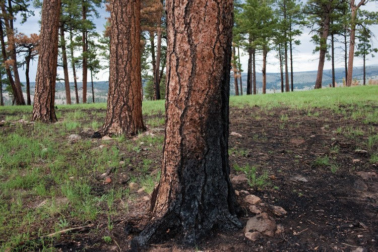 The scene of a low-severity burn in a ponderosa pine forest in the Gila Wilderness.