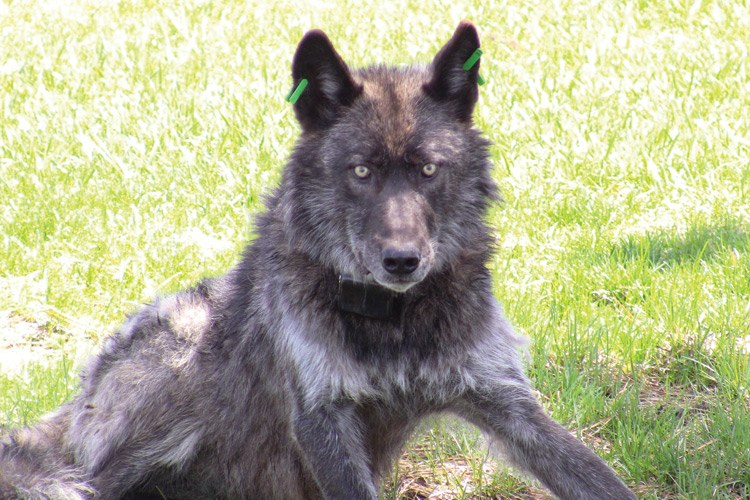 The alpha male wolf from the Imnaha Pack, from which OR-7 has dispersed.