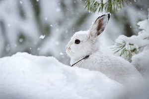 Can snowshoe hares outrace climate change?