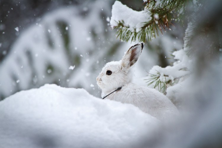 A snowshoe hare, in its white winter coat and tracking collar, is well camouflaged on a snowy January day near Seeley Lake, Montana.