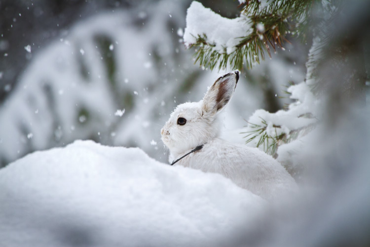 Image result for snowshoe hare in snow