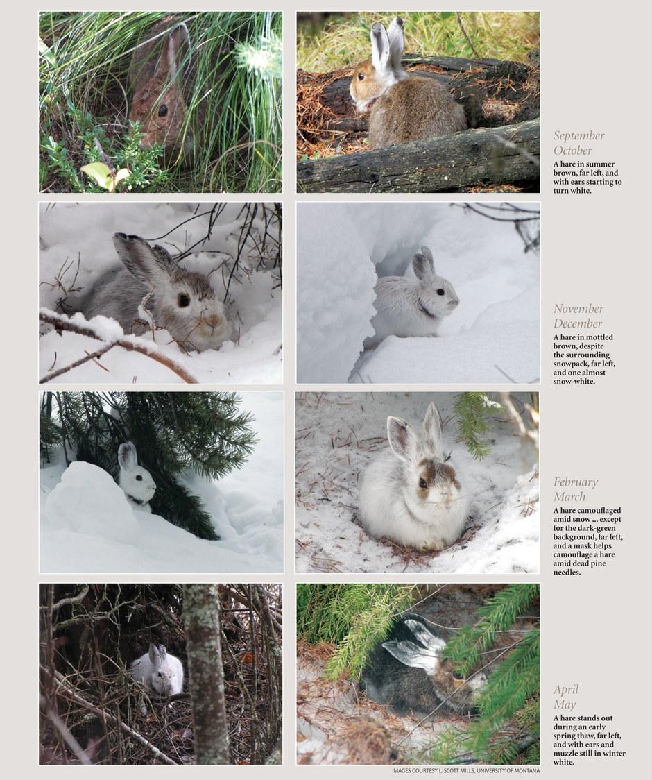Seasonal hares