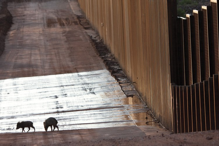 After traveling the U.S.-Mexico border wall for 100 yards, looking for a place to cross, these javelina turned away (facing page). This stretch of wall in Arizona bisects the San Pedro River corridor, one of the last free-flowing rivers in the state and a haven for wildlife traveling north and south.