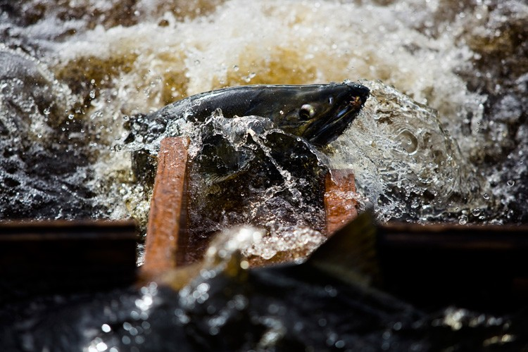 A chum salmon attempts to fight its way into a hatchery and to its eventual death on the Port Gamble S'Klallam Tribe reservation in Washington. The S'Klallams have long caught fish from Port Gamble Bay for both eating and breeding for the next year's harvest. November is the spawning month for chum. While not the best salmon to eat in terms of flavor, the tribe offers up the corpses of slaughtered, spawned chum to families on the reservation for free.