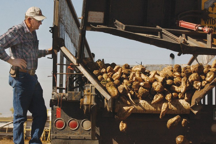 A Colorado sugar beet farmer unloads a harvest in the days before genetically modified beets came online