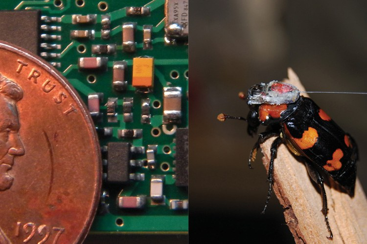 Miniaturized circuitry like that designed by Doug Bonham (left) and cutting-edge super-small transmitters help researchers track even the smallest of creatures, including this American burying beetle (right).