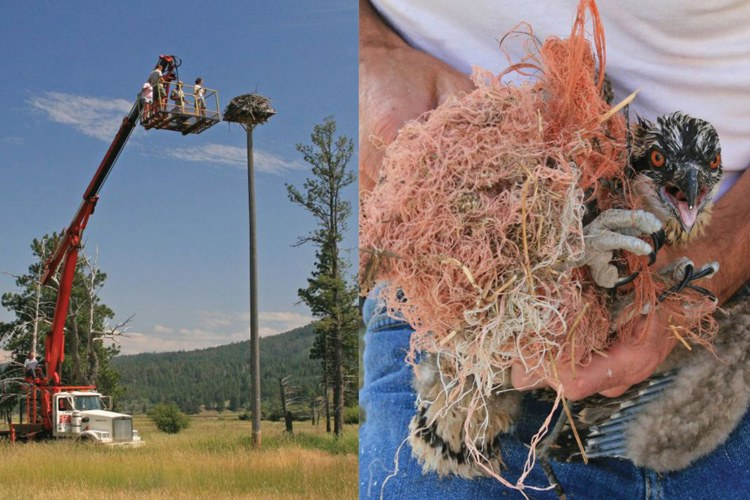 University of Montana students use a boom truck to monitor an osprey nest, where they discover things like chicks wrapped in baling twine (right).