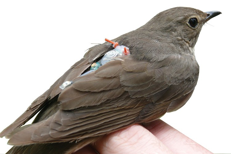 "A Swainson's thrush fitted with a geolocator ""backpack"" to help researchers track its movement."