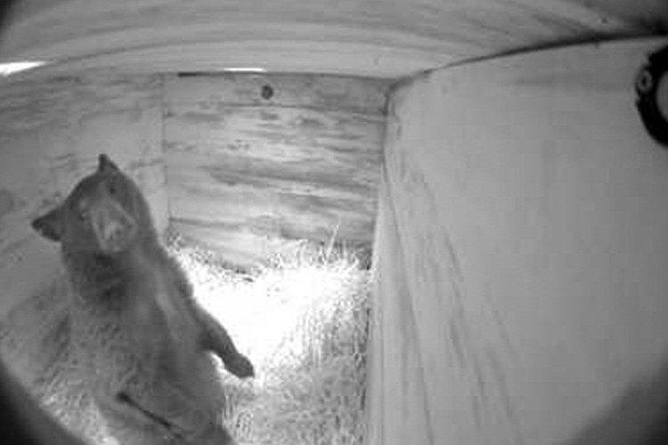Alter Enterprises used a camera in an artificial bear den to record the movements of an orphaned black bear cub during winter hibernation.