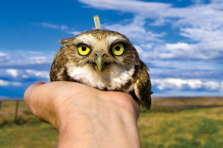 Outfitted with a tiny backpack geolocator and ready for release near Olympia, Washington, this burrowing owl will help researchers study habitat, nesting sites and migration patterns vital for owl conservation.