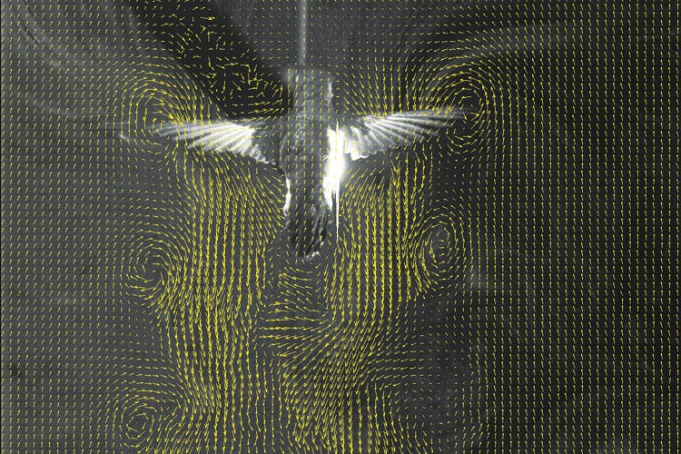 The wake of a hovering hummingbird is revealed using particle image velocimetry, where a mist of olive oil  is illuminated by a laser.