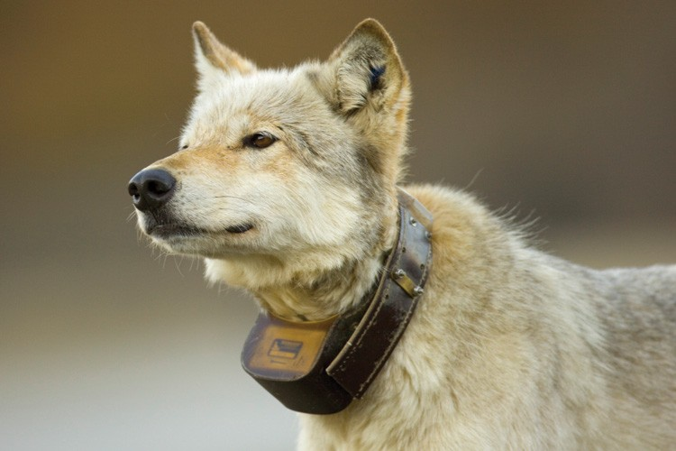 A gray wolf with a circa 2006 collar used to track its movement in Denali National Park, Alaska.
