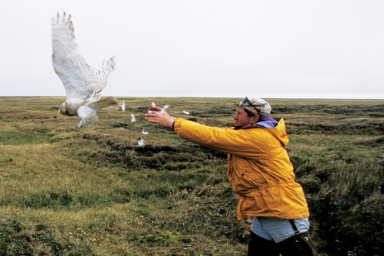 Denver Holt releases a female snowy owl fitted with a satellite transmitter into the wilds of Barrow, Alaska, during his 20th field season in the Arctic.
